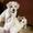 Продаются щенки,  метисы лабрадора #16768